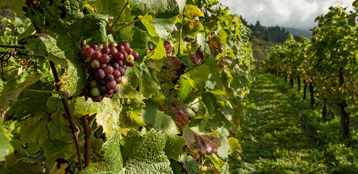 farm-fruits-grapes-110822
